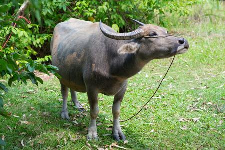 water buffalo: Thai Buffalo