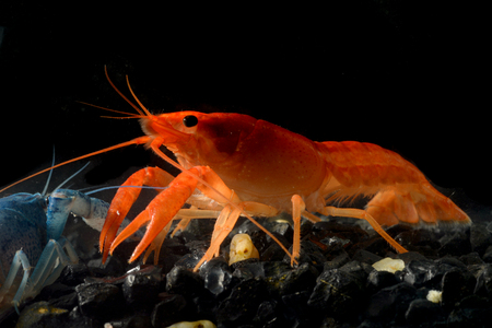 freshwater aquarium: Close up crayfish in aquarium