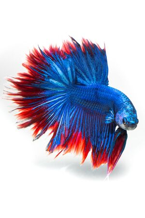 fire fin fighting: siamese fighting fish, betta fish isolated on white