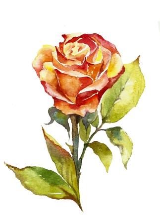 orange rose watercolor