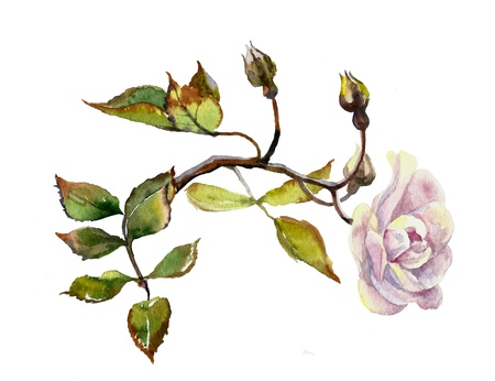 lilac dogrose branch watercolor