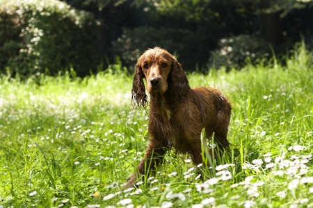 wet spaniel on daisy meadow photo
