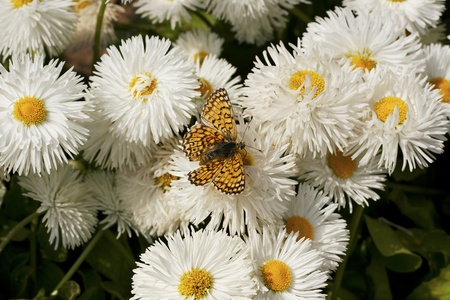 butterfly on white daisy meadow