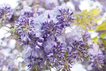 wisteria lilac background