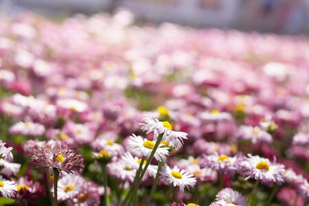 pink daisy and white chamomiles photo