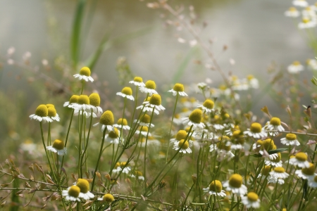 Chamomile meadow Stock Photo