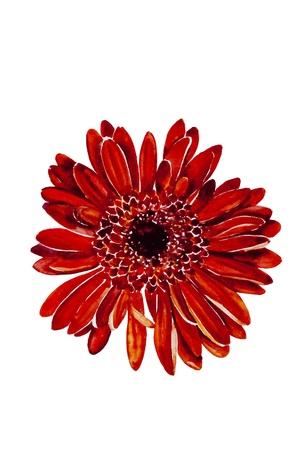 Red dahlia flower head watercolor