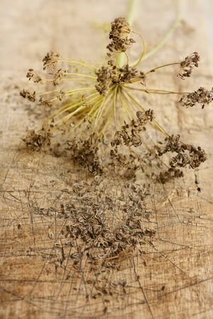 fennel seed: dill inflorescencewith dry seeds on a rustic wood surface selective focus