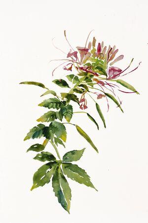 Cleome spider flower branch watercolor painting Foto de archivo