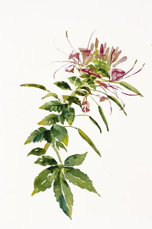 leaf close up: Cleome spider flower branch watercolor painting Stock Photo