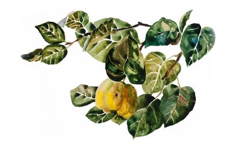 membrillo: Fruta del membrillo en la ramita con hojas acuarela