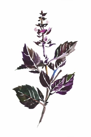 purple basil twig with leaves and flowers isolated watercolor painting