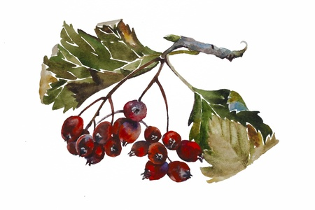 rowan tree: watercolor painting of rowanberry twig with fruits and leaves isolated