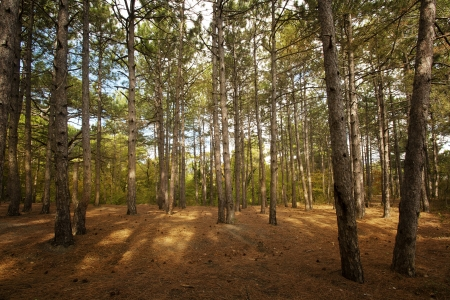 conifer: Pine forest at Crimea mountains on Tsarskaya tropa  King