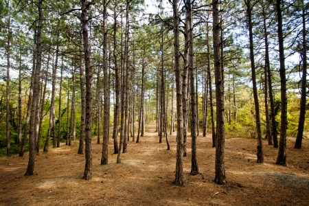 coniferous forest: Pine forest at Crimea mountains on Tsarskaya tropa  King