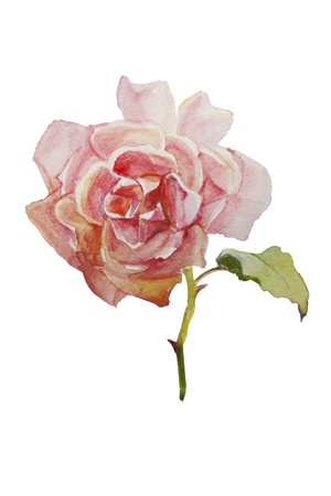 watercolor pink rose isolated