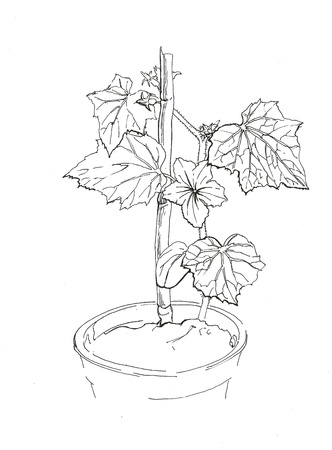 Small cucumber vine with flower in flowerpot ink drawing