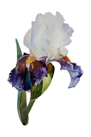 Pale and dark purple petals iris isolated watercolor art