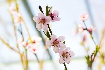 peach blossom: pink peach flowers twig on the tree selective focus Stock Photo