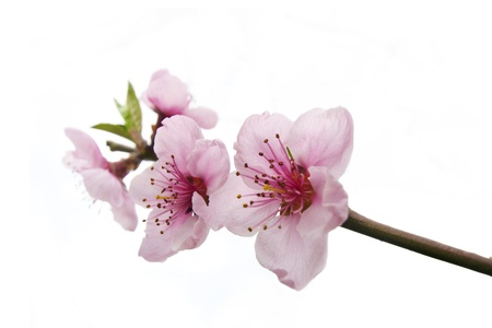 Peach flower: pink peach flowers twig on white sky selective focus