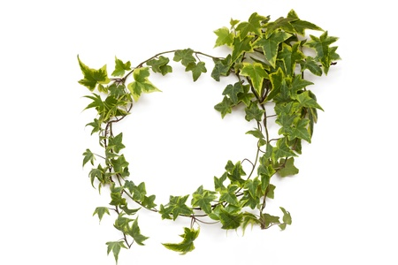 ivy plant natural circle frame on white background photo