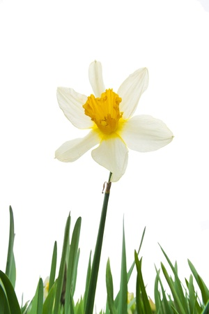 whote: white and yellow narcissus with leaves on whote background