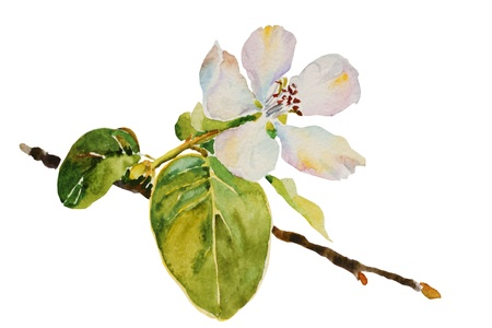 quince: quince blossom twig with flower and leaves watercolor illustration