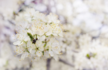 Blossom white cherry tree background selective focus photo