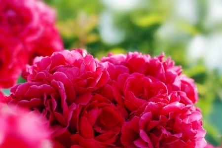dogroses: bouquet of wild red rose or dogroses in the garden selective focus
