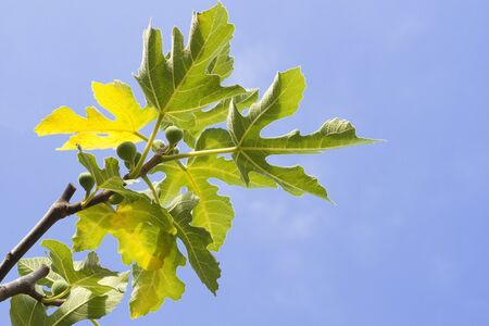 extreme heat: small figs fruits on the tree on sky background