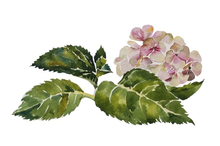 Pink hydrangea with leaves and stem original watercolor painting on white background