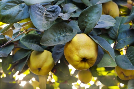 Ripe yellow quince fruits on the tree in the garden Stock Photo
