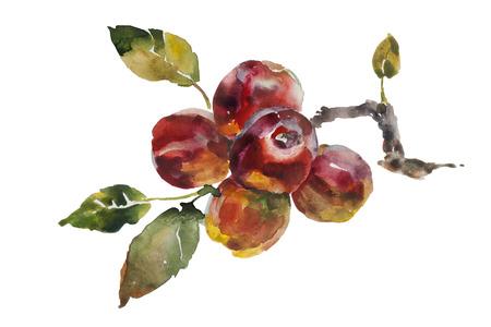 manzana: Manzanas montón roja en el árbol ramita acuarela original en papel ilustración aislada