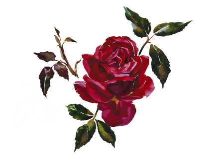 Dark red rose head with leaves branch original watercolor illustration