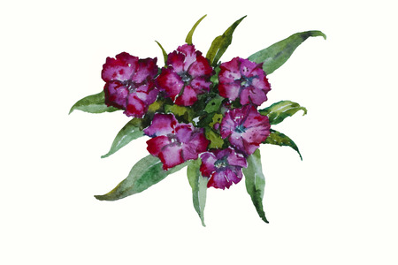 william: Blossom Dianthus barbatus Sweet William pink flowers original watercolor isolated on white background Stock Photo