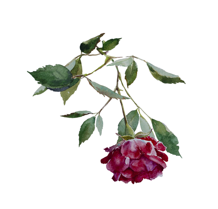 thorn: Dark red rose head with leaves branch original watercolor illustration isolated on white background