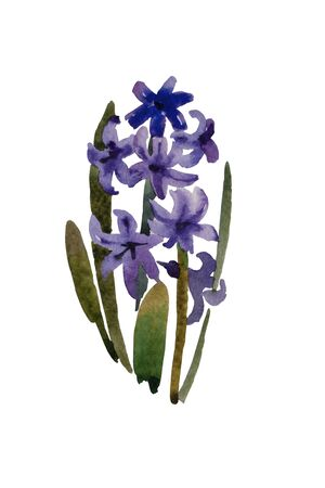 Dark blue or purple hyacinth blooming plant with flowers and leaves original watercolor illustration Stock Photo