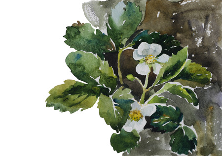 botany: botany illustration strawberry plants on flowerbed blossoming original watercolor painting Stock Photo