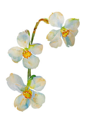 White narcissuses original watercolor illustration isolated on white background Stock Photo