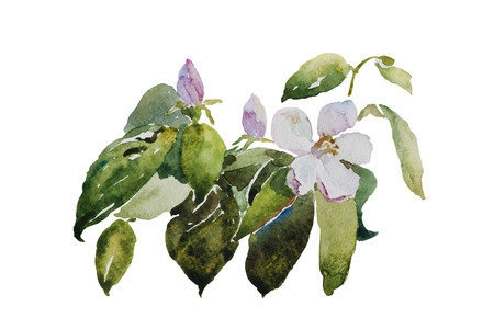 flowering: quince blossom twig with flower and leaves original watercolor botany illustration