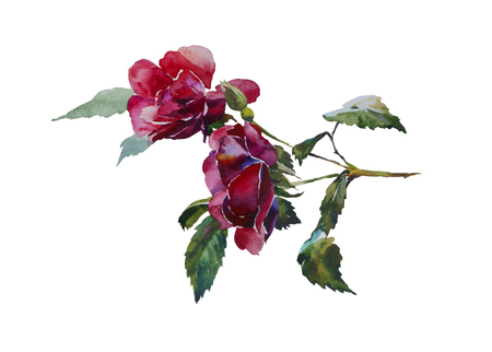 Dark red rose head with leaves branch original watercolor illustration isolated on white background