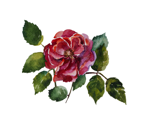 dogrose: Red rose with leaves original watercolor painting isolated on white background