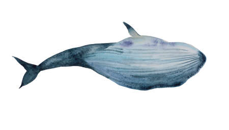 Watercolor blue whale dive, bottom view on belly. Original hand painted illustration isolated on white background