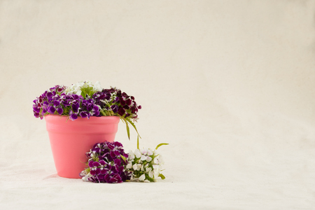 pot marigold: Sweet william flowers bouquet in pink pot with copy space