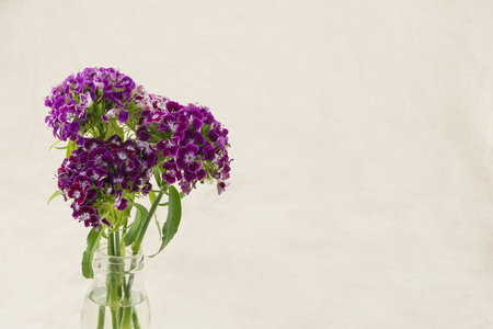 Purple sweet william flowers in vase with copy space