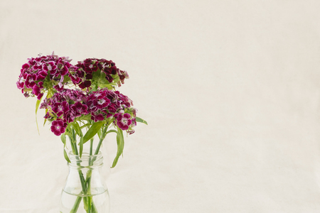 Dark red sweet william flowers in vase with copy space