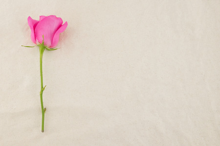 Pink rose on white muslin fabric with copy space