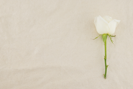 White rose on white muslin fabric with copy space Stock Photo
