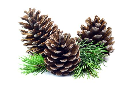 Fir cone and spruce branch isolated on white background. Nature object background
