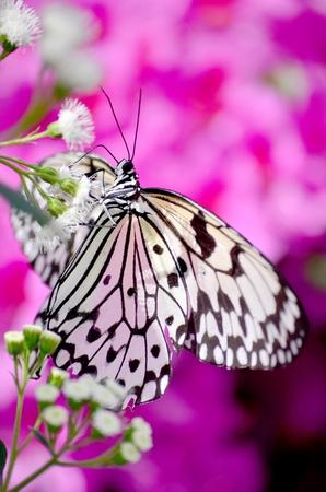 Butterfly Leuconoe Imagens - 32278982